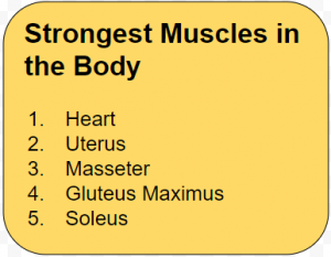 E- Musles Strongest Muscles in the Body