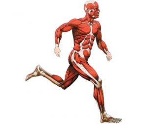 E- Muscles Human Muscular System